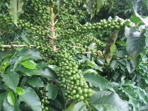 Arabica Fruit Branches