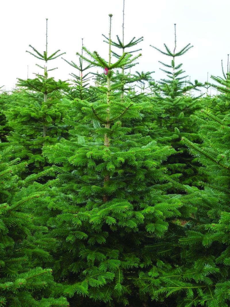 Nordman Fir Real Christmas Trees