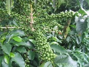 Arabica Fruit Branches